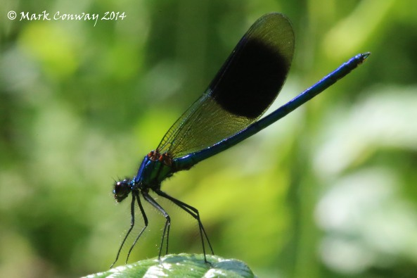 Banded Demoiselle, Nature, Dragonfly, Wildlife, Insects, Mark Conway, Life Spirit, Photography