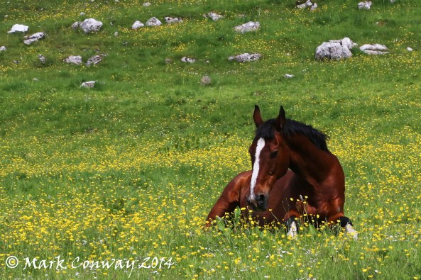 Horse, Buttercups, Meadow, Photography, Nature, Landscapes, Mark Conway, Life Spirit