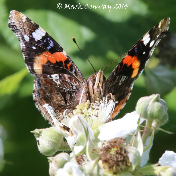 Red Admiral Butterfly, Nature, Insects, Photography, Wildlife, Mark Conway, Life Spirit