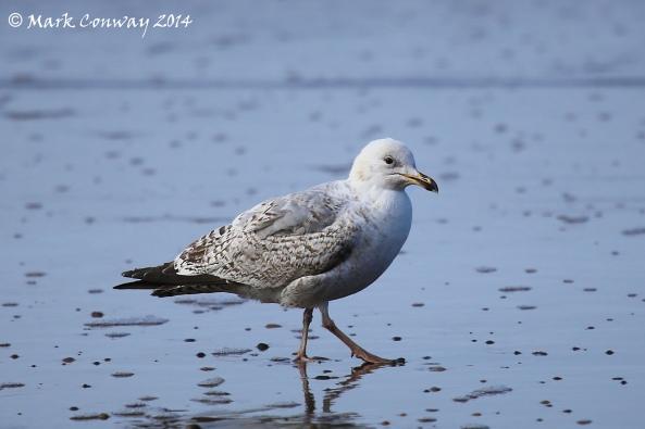 Young Herring Gull, Birds, Bird Watching, Nature, Wildlife, Mark Conway, Life Spirit, Photography
