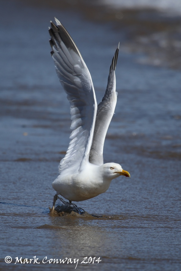 Herring Gull, Nature, Birds, Abersoch, Wales, Mark Conway, Life Spirit