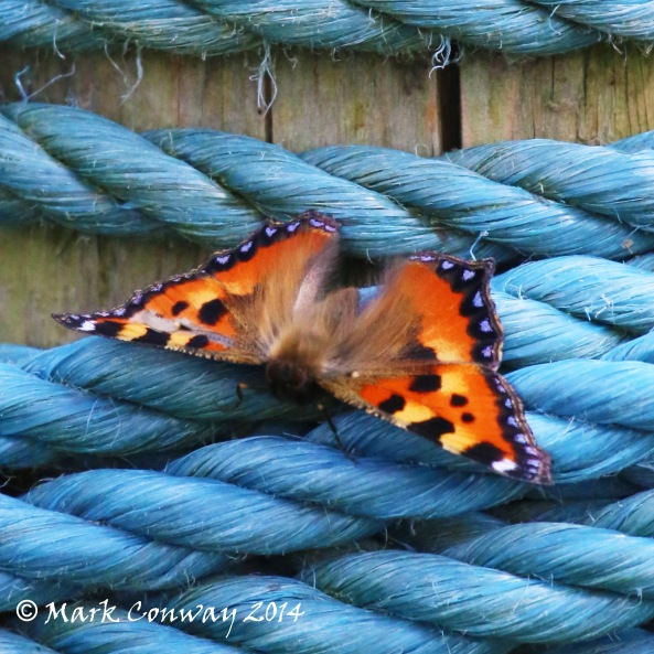 Small Tortoiseshell, Butterfly, Insects, Wildlife, Nature, Photography, Mark Conway, Life Spirit