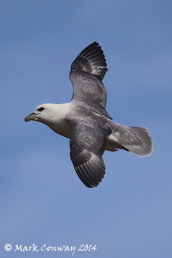 Fulmar. Birds, Nature, Wildlife, Photography, Mark Conway, Life Spirit