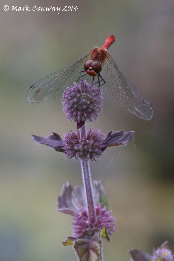 Ruddy Darter, Nature, Wildlife, Insects, Dragonflies, Mark Conway, Life Spirit