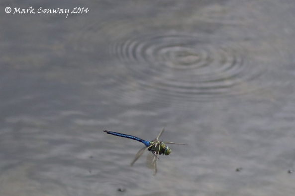 Emperor Dragonfly, Insects, Nature, Wildlife, East Yorkshire, Photograohy, Mark Conway, Life Spirit