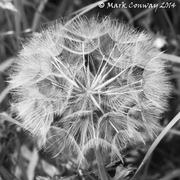 Dandelion Fruit, Nature, Flowers, East Yorkshire, Photography, Life Spirit, Mark Conway