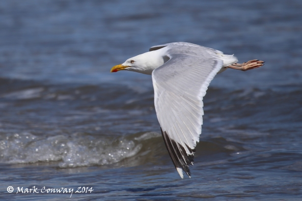 Herring Gull, Nature, Birds, Wildlife, Photography, Mark Conway, Life Spirit