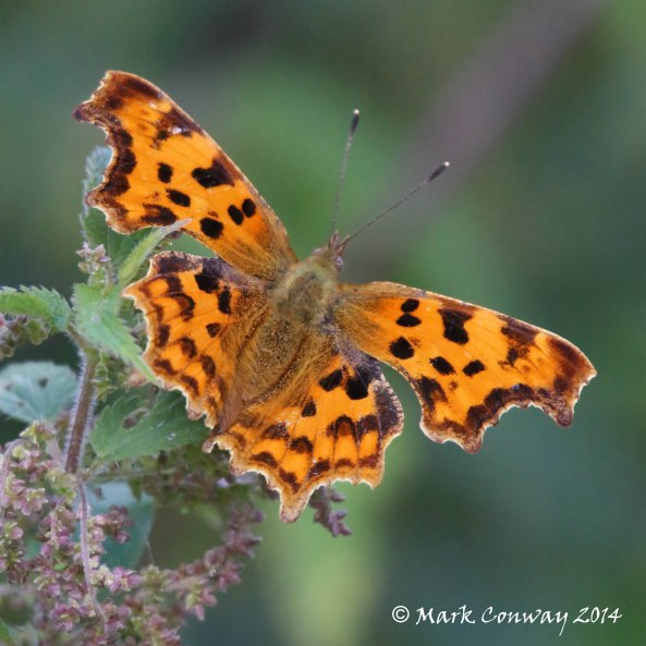 Comma, Butterfly, Insects, Nature, Wildlife, Photography, Life Spirit, Mark Conway