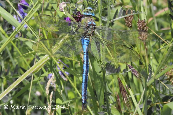 Emperor Dragonfly, Nature, Wildlife, Photography, Insects, Mark Conway, Life Spirit