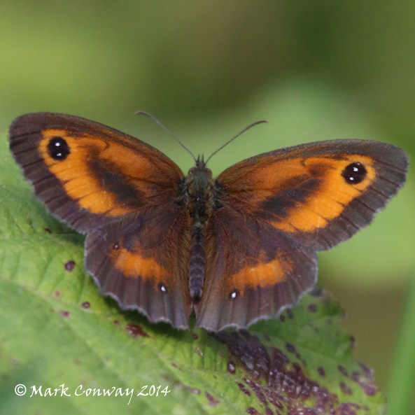 Gatekeeper, Butterfly, Insect, Nature, Wildlife, Photography, Life Spirit, Mark Conway
