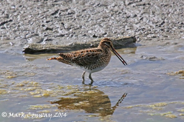 Snipe, Birds, Wildlife, Nature, Photography, East Yorkshire, Mark Conway, Life Spirit