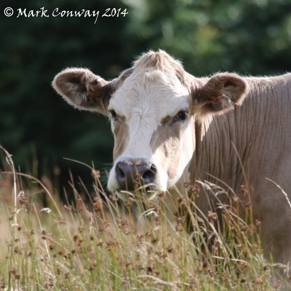 Cows, Agriculture, Wales, Nature, Photography, Mark Conway, Life Spirit