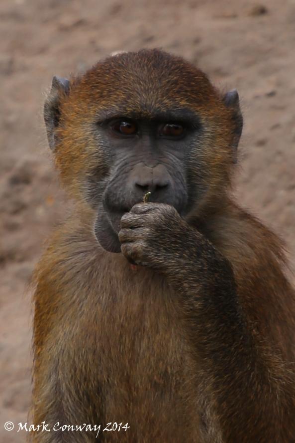 Baboon, Yorkshire Wildlife Park, Nature, Mark Conway, Life Spirit