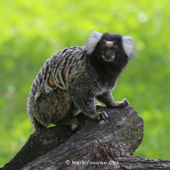 Marmoset, Yorkshire Wildlife Park, Nature, Wildlife, Conservation, Mark Conway, Life Spirit, Photography