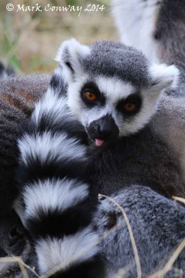 Lemur, Yorkshire Wildlife Park, Nature, Mark Conway, Life Spirit