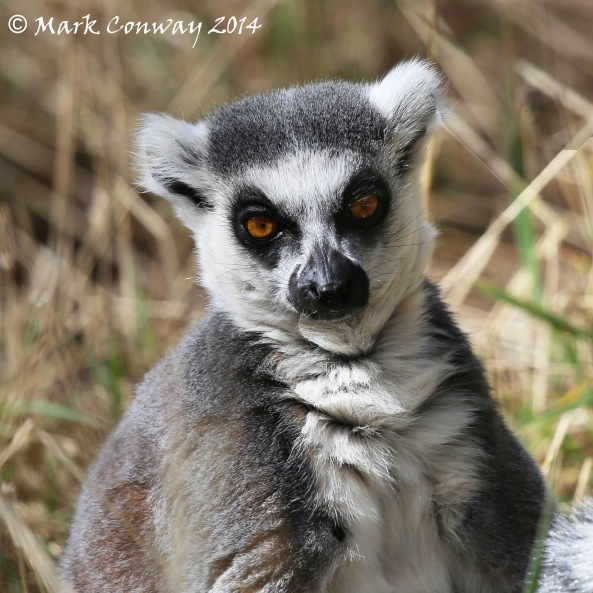 Lemur, Yorkshire Wildlife Park, Conservation, Nature, Photography, Mark Conway, Life Spirit
