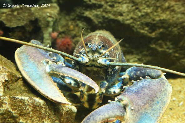 Lobster, The Deep, Hull, Nature, Photography, Mark Conway,  Life Spirit