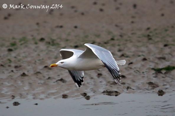 Herring Gull, Aberdaron, Llyn Peninsula, Wales, Nature, Birds, Photography, Mark Conway, Life Spirit