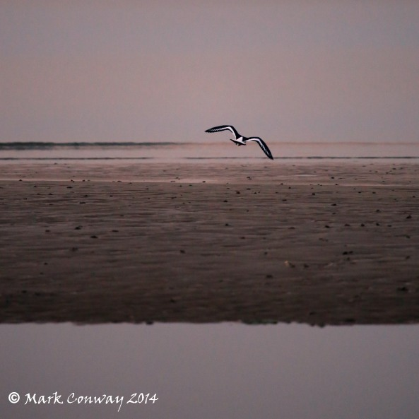 Oystercatcher, Birds, Nature, Photography, Abersoch, Llyn Peninsula, Wales, Life Spirit, Mark Conway