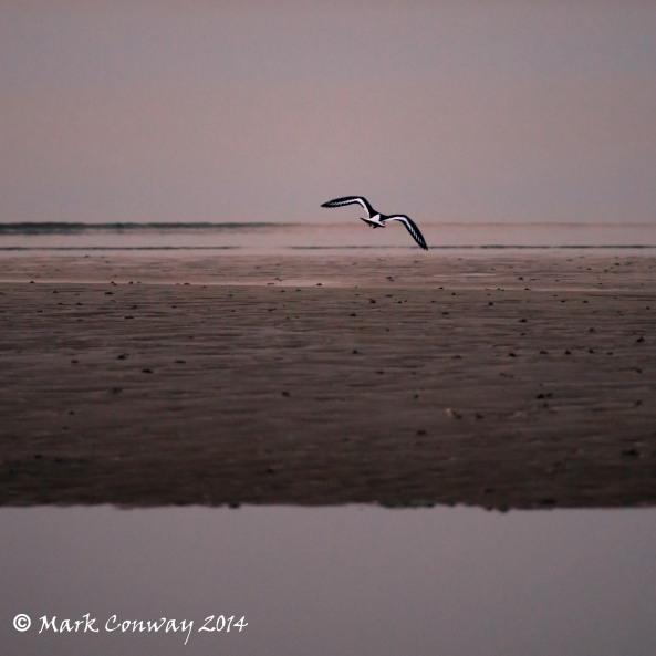 Oystercatcher, Birds, Nature, Photography, Abersoch, Llyn Peninsula, Wales, Life Spirit, Mark Conway