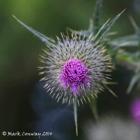 Thistle, Flowers, Nature, Photography, East Yorkshire, mark Conway, Life Spirit