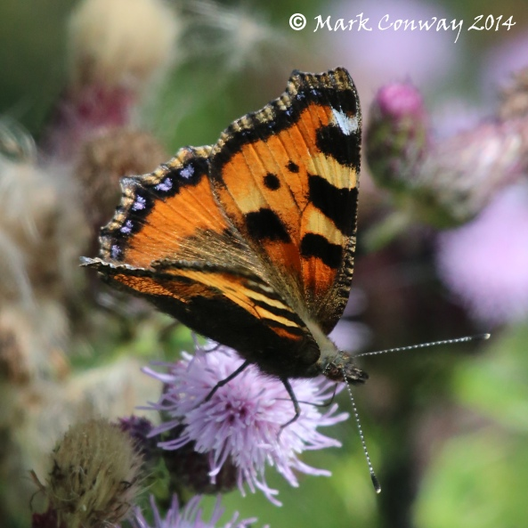 Tortoiseshell Butterfly, Nature, Wildlife, East Yorkshire, Mark Conway, Life Spirit, Photography