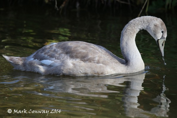 Cygnet, Swan, Nature, Wildlife, Yorkshire, Life Spirit, Mark Conway