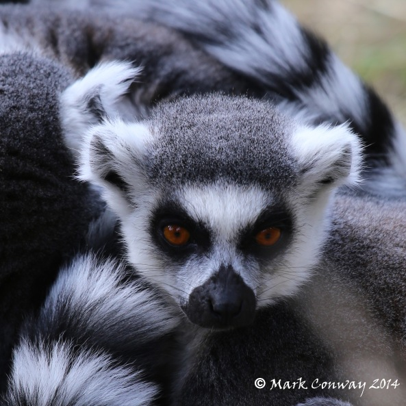 Lemur, Yorkshire Wildlife Park, South Yorkshire, Wildlife Photography, Nature, Mark Conway, Life Spirit