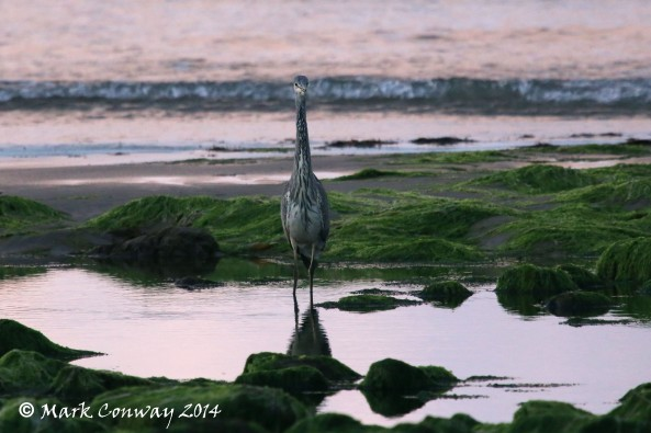 Grey Heron, Aberdaron, Wales, Nature, Birds, Wildlife, Photography, Mark Conway, Life Spirit